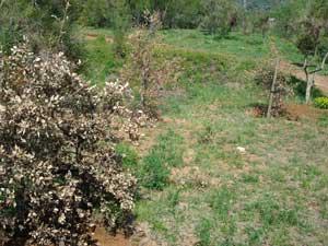 Altres arbres trasplantats i secs