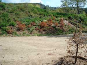 Els arbres trasplantats totalment secs